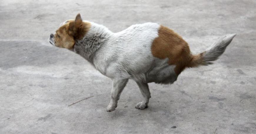 Շի Բաո- երկու ոտքով շունը