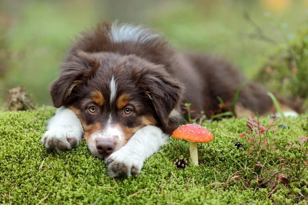 Սունկը վտանգավոր է շների համար