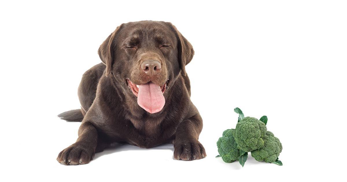 Բրոկոլլին վնասկար է շան առողջությանը