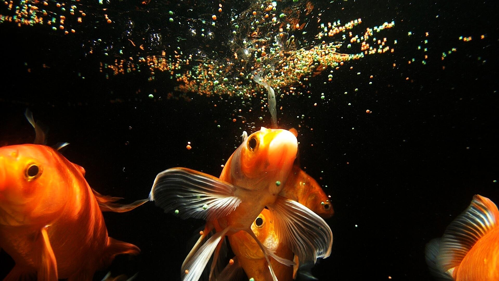 ՉԻ՛ կարելի չափից ավել կերակրել ձկներին