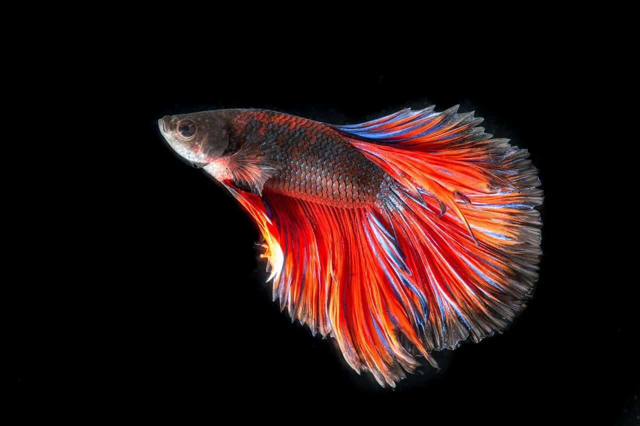 Բազմերանգ գունավորմամբ ձկնիկներ